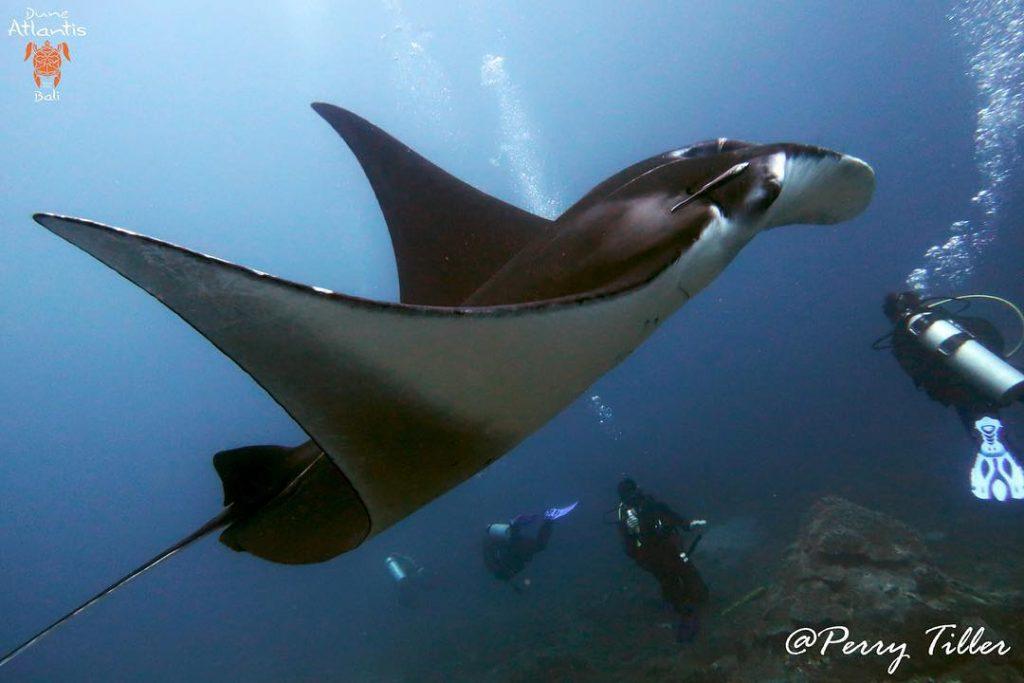 Plongez avec des créatures fascinantes comme la Raie manta bali