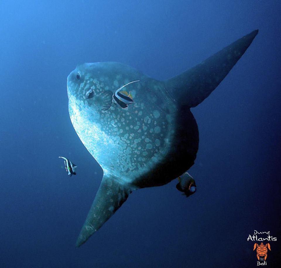 Le mola mola bali : un poisson curieux