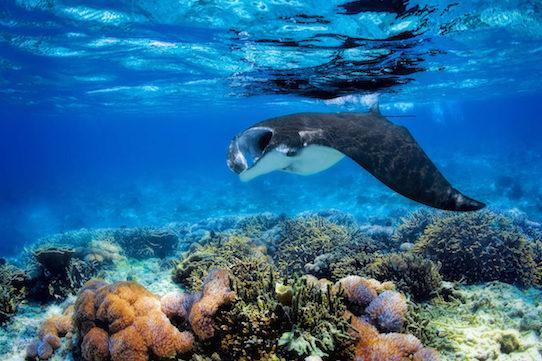 Voyage plongée Bali raie manta